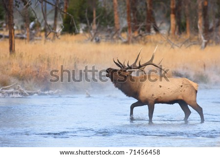 Bull elk bugling while crossing a river on a cold autumn morning.
