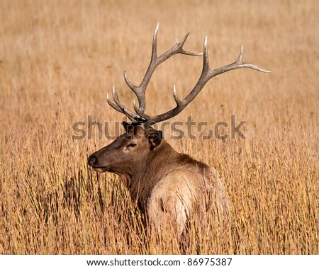 Bull elk during fall in Yellowstone national park