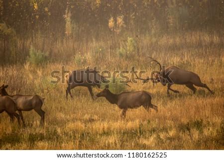 Bull elk fighting during the rut