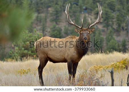 Bull Elk - Full body front view of a strong mature bull elk in Rocky Mountain National Park.