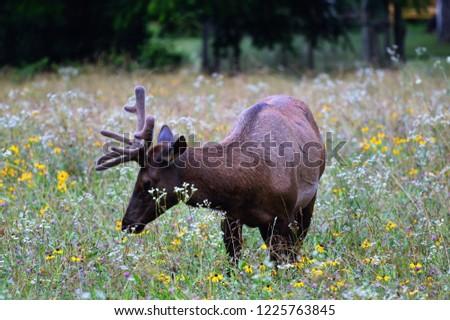 Bull elk in Cherokee NC