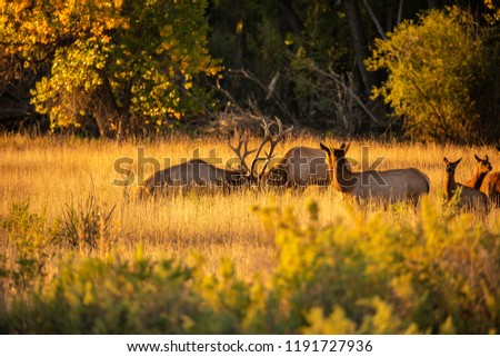 Bull elk in rut, fighting, two cows watching, autumn trees and grass.