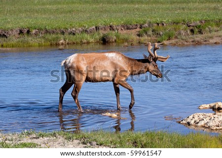 Bull Elk in Stream