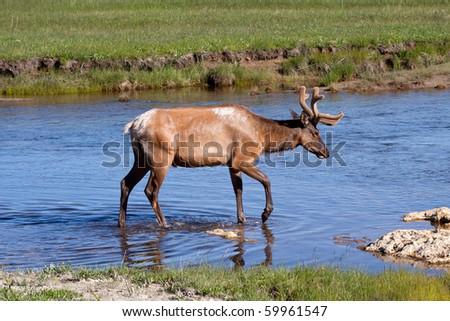 Bull Elk in Stream - stock photo