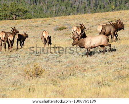 Bull elk in the fall during the mating season