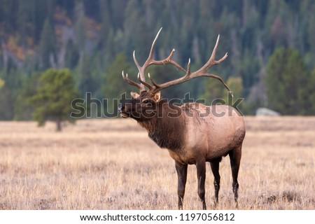 Bull Elk in the Fall Rut