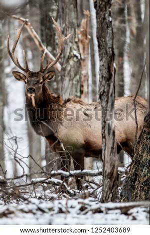 Bull elk in the snow - Photographed in Elk State Park, Elk County, Benezette, Pennsylvania