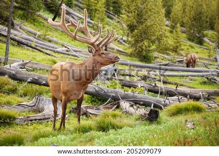 Bull elk in Yellowstone park in summer