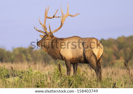 Bull Elk - Photograph taken during the rut in Elk County, Elk State Forest, Benezette, Pennsylvania