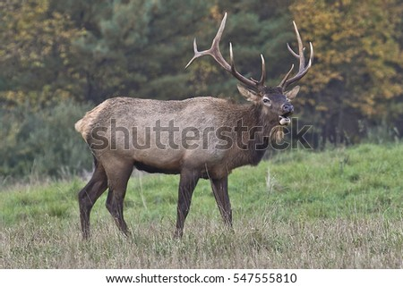 Bull Elk - Photograph taken in Elk State Forest, Elk County, Benezette, Pennsylvania.