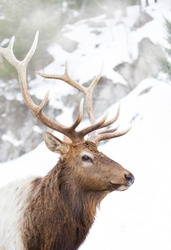 Bull Elk standing against a rocky snowy mountain in the winter snow in Canada