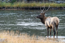 Bull elk stands in the Madison River in Yellowstone National Park