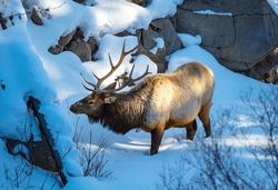 Bull Elk surviving the winter