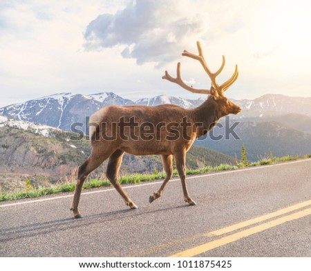 Bull elk walking on a mountain road away from other elk. These animals are found on high mountains in the summer.