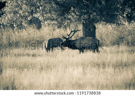 Bull elk with cow under cottonwood tree, monotone image, elk in rut.