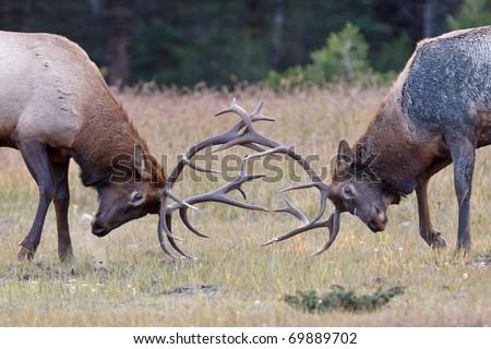Bull Elks fighting, Jasper National Park, Canada