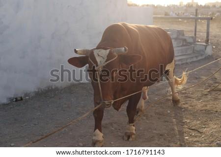 Photo of  Bull fight, Oman, Barka Oman Traditional