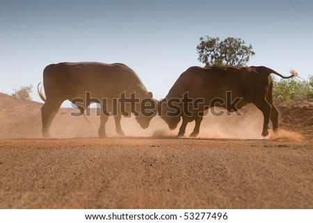 Bull fight on the road in Western Australia - stock photo