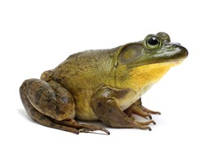 Bull Frog on a White Background