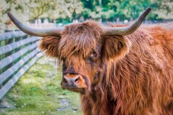 bull highland scottish cattle horn