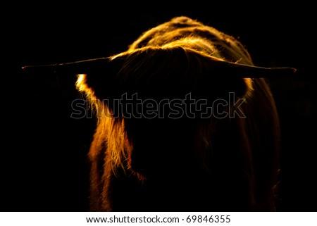 Bull in back-light - stock photo