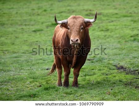 bull in spain in green countryside