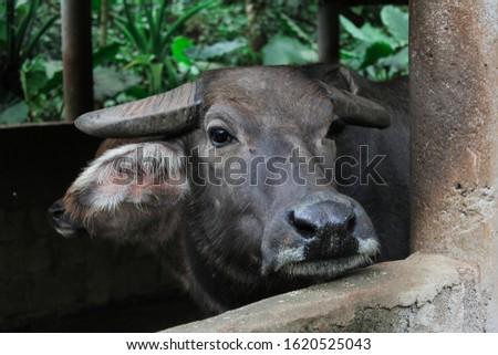 Bull in the Hainan Tropical Wildlife Park