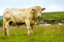 Bull, large Charolais bull stood magestically in lush summer meadow in Yorkshire Dales, England, UK.  The bull has a ring through his nose.  Landscape, horizontal.  Space for copy.
