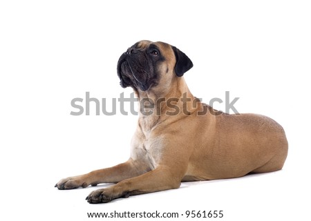 bull massive dog. ull massive dog. Bull Massive Dog. stock photo : ull mastiff dog; stock