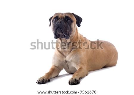 bull massive dog. dresses ull massive dog.