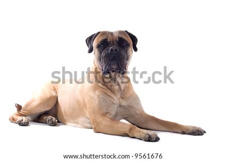 bull mastiff dog isolated on a white background #9561676