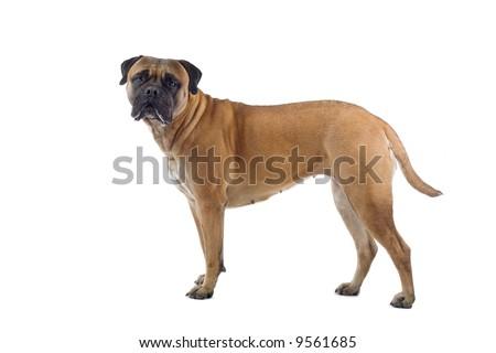 bull mastiff dog isolated on a white background #9561685