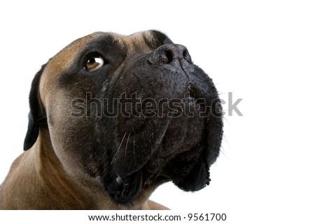 bull mastiff dog isolated on a white background