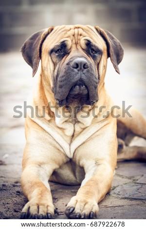 Bull Mastiff Portrait #687922678