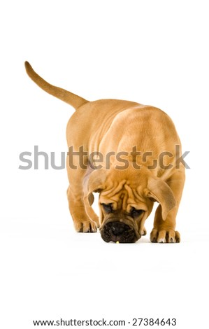 Bull Mastiff puppy isolated on a white background #27384643
