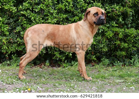 Bull mastiff tosa inu close up against green natural background #629421818