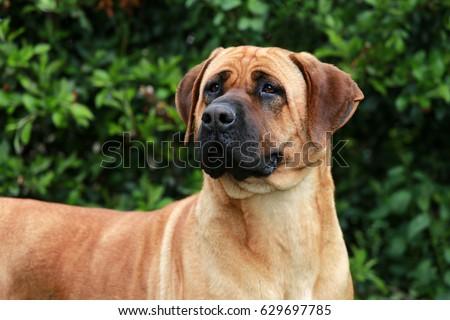 Bull mastiff tosa inu head close up #629697785