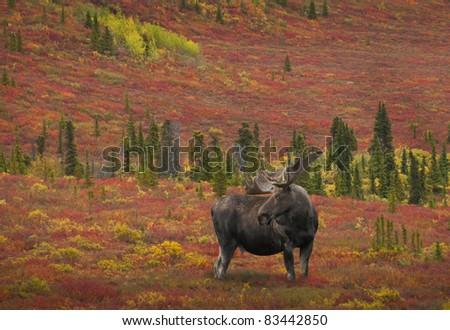 Bull Moose (alces alces) Denali National Park, Alaska.