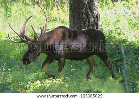 Bull Moose (alces) in Yellowstone National Park in Wyoming