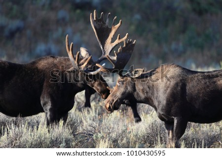 bull moose in Grand Teton National Park, Wyoming.