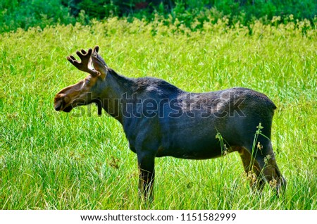 Bull Moose in meadow