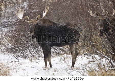 Bull Moose in Winter Saskatchewan Canada close up