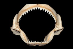 Bull Shark jaws bones skeleton with black background