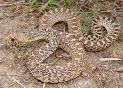 Bull Snake, Pituophis catenifer sayi (juvenile)