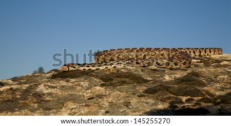 Bull Snake sunning itself in summer sun on rocks with blue sky background wildlife photography cold blooded reptile predator Pacific Northwest Wildlife and Nature