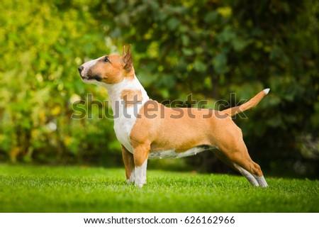 bull terrier #626162966