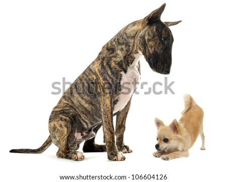 bull terrier and puppy chihuahua in front of white background