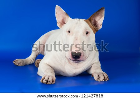 bull terrier dog portrait on blue background
