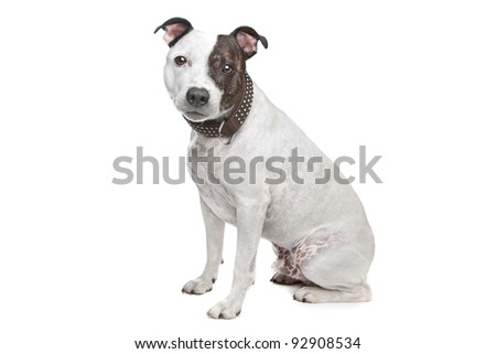 Bull Terrier in front of a white background