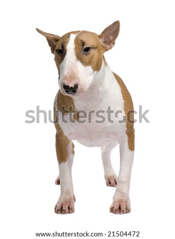 Bull Terrier (11 months) in front of a white background